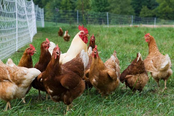 Asigurarea pasarilor - ferme de pasari - agricultura